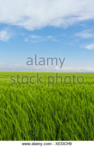 wheat field under the blue cloudy sky - Stock Photo
