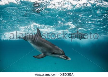 Atlantic spotted dolphins surfing on waves, looking at camera, Northern Bahamas Banks, Bahamas - Stock Photo