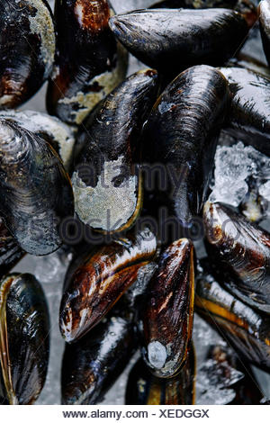 Close up shot of fresh blue mussels on ice - Stock Photo