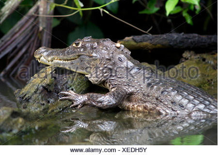 Spectacled caiman or white caiman (Caiman crocodilus), Tortuguero, Tortuguero National Park, Limon, Costa Rica, Central America - Stock Photo
