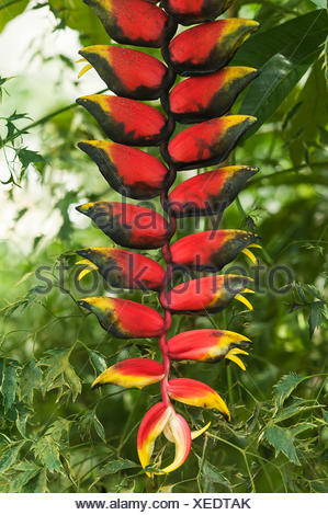 Hanging Lobster Claw (Heliconia rostrata) - Stock Photo
