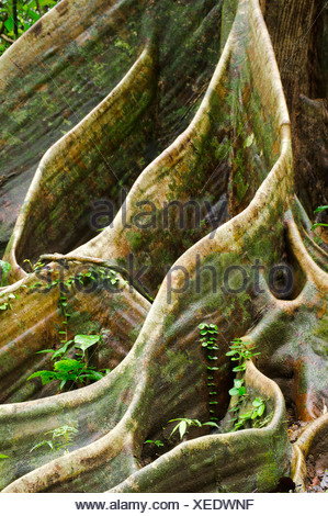 Buttress roots of Shorea sp. within lowland Dipterocarp rainforest. Danum Valley, Sabah, Borneo. - Stock Photo