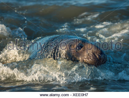 Grey seal (halichoerus grypus) in sea, Norfolk, England, United Kingdom - Stock Photo