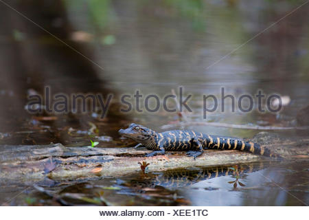 American alligator (Alligator mississippiensis), young animal sitting on a swimming tree trunk, USA, Florida, Big Cypress National Preserve, Everglades National Park - Stock Photo