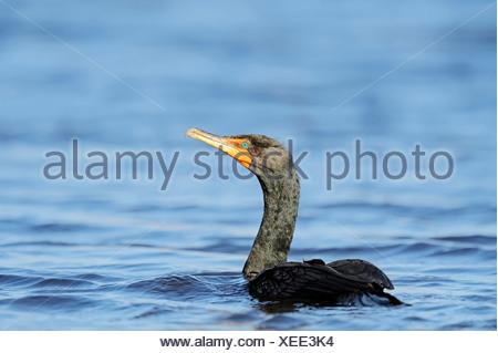 Double-crested Cormorant (Phalacrocorax auritus), Everglades National Park, Everglades Nationalpark, Florida, United States - Stock Photo
