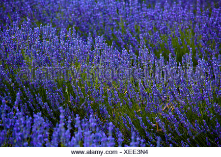 Blooming field of Lavender (Lavandula angustifolia), near Sault and Aurel, in the Chemin des Lavandes - Stock Photo