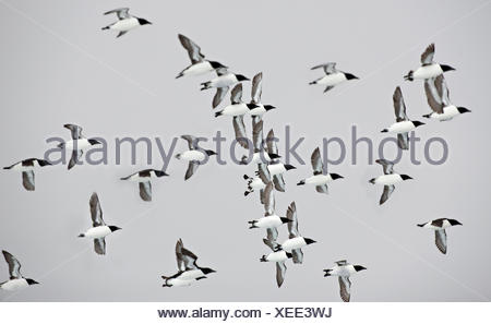 Flock of Thick-billed Murre, Uria lomvia, Nunavut, Canada - Stock Photo