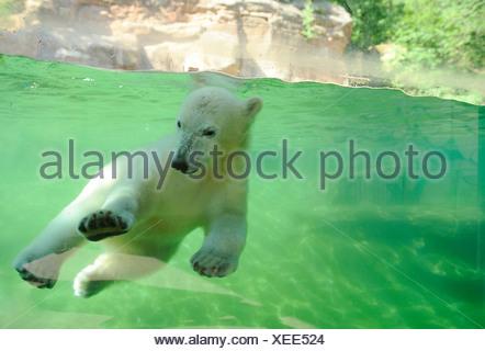 Polar Bear Ursus maritimus Thalarctos maritimus - Stock Photo