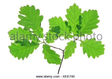 Oak leaves (Quercus robur) - Stock Photo