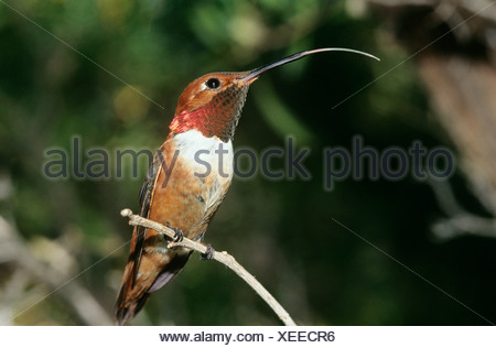 Humming bird perched on branch - Stock Photo