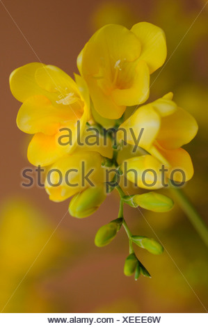 Freesia Yellow flowers - Stock Photo