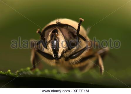 Common Drone Fly Eristalis tenax - Stock Photo