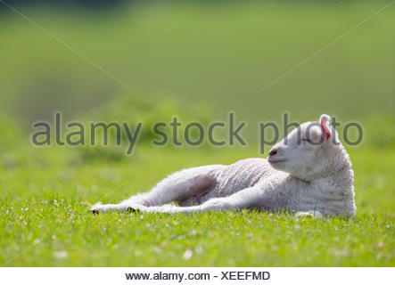 Tired lamb laying in sunny green spring field - Stock Photo