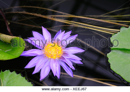 Blue Pigmy Waterlily (Nymphaea colorata), violet blossom - Stock Photo
