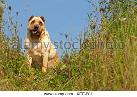 Shar Pei, Chinese Shar-Pei (Canis lupus f. familiaris), sitting in meadow - Stock Photo