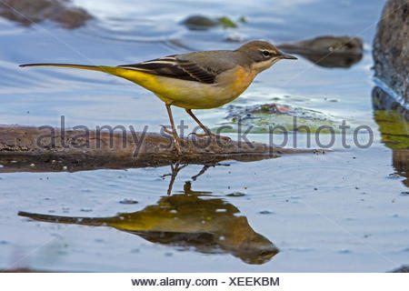 grey wagtail (Motacilla cinerea), in shallow water with mirror image, Germany, Bavaria, Lake Chiemsee - Stock Photo