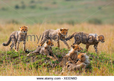 cheetah (Acinonyx jubatus), six cubs, Kenya, Masai Mara National Park - Stock Photo