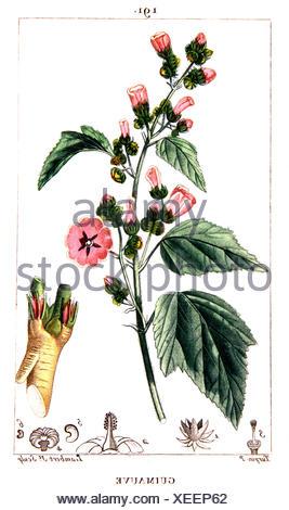 Botanical drawing of common marsh-mallow - Stock Photo