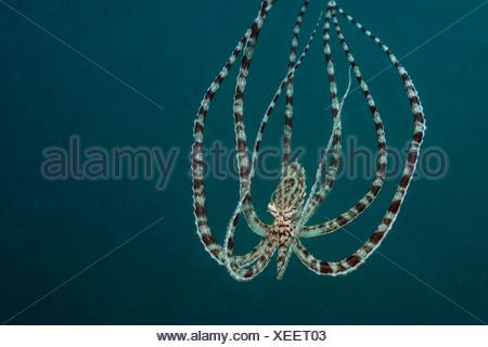 Mimic Octopus, Thaumoctopus mimicus, Lembeh Strait, Sulawesi, Indonesia - Stock Photo