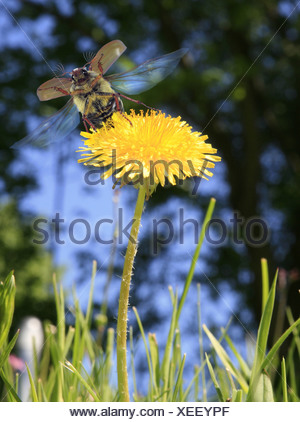 common cockchafer, maybug (Melolontha melolontha), take off from common dandelion blossom, Germany - Stock Photo