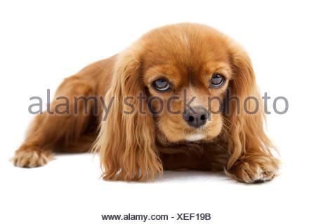 Lying Cavalier King Charles Spaniel - Stock Photo