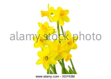 Blühende Narzissen Osterglocken im Frühling - Stock Photo