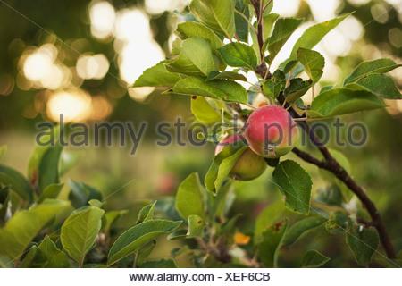 Apples growing on tree - Stock Photo