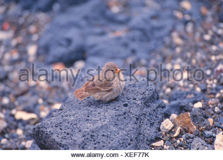 Small Ground Finch, Geospiza fuliginosa. - Stock Photo