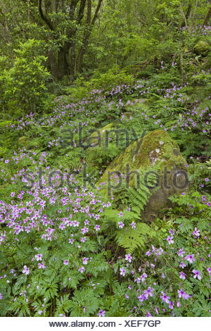 Forest flowers and moss-overcast stone with Caldeirao Verde, Queimados, Madeira, Portugal, - Stock Photo