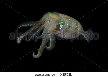 Bigfin Reef Squid (Sepioteuthis lessoniana) adult, at night, Balbulol Island, Raja Ampat Islands (Four Kings), West Papua, New - Stock Photo