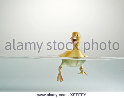 Domestic duck. Duckling swimming while quacking Studio picture, split level - Stock Photo