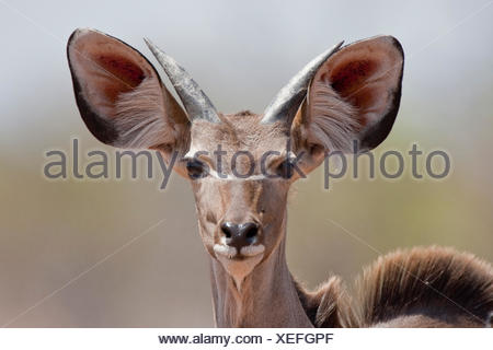 Greater Kudu (Tragelaphus strepsiceros), Chobe National Park, Botswana, Africa - Stock Photo