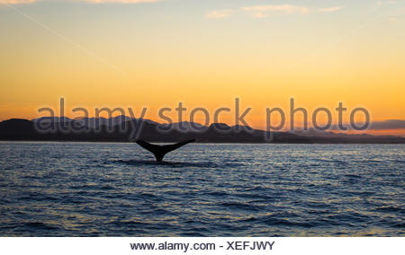 Humpback Whale Tail at sunrise, Baja California, Mexico - Stock Photo