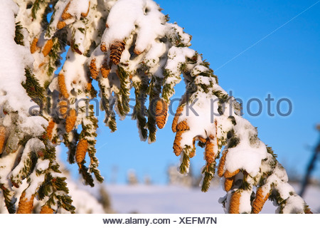 Snow Covering A Tree Branch And Pine Cones - Stock Photo