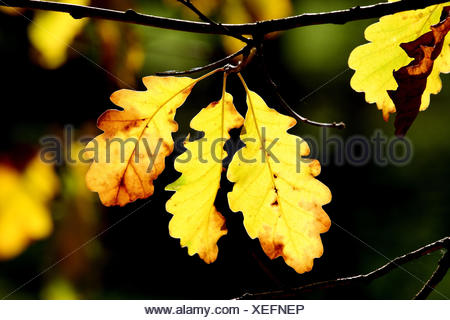 Common oak, Quercus robur, detail, branch, leaves, autumn, plants, broad-leaved trees, trees, foliage, autumn foliage, oak, summer oak, common oak, oak leaves, brightly, autumn staining, autumnally, transmitted light, sunlight, yellow, medium close-up, season, nature, outside, - Stock Photo