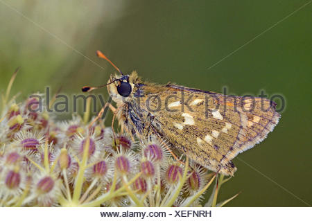 silver-spotted skipper (Hesperia comma), sitting on a blossom, Germany, Baden-Wuerttemberg - Stock Photo