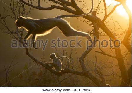 Hanuman Langur leaping through the treetops Bandhavgarh India