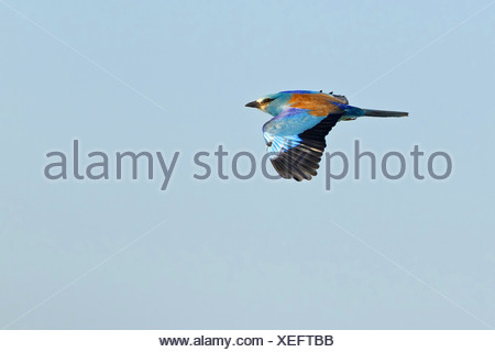 European roller (Coracias garrulus), flying, Turkey, Sanliurfa, Birecik Gravel Pits - Stock Photo