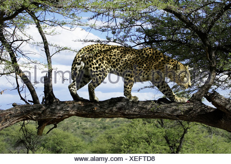 leopard on tree - Stock Photo