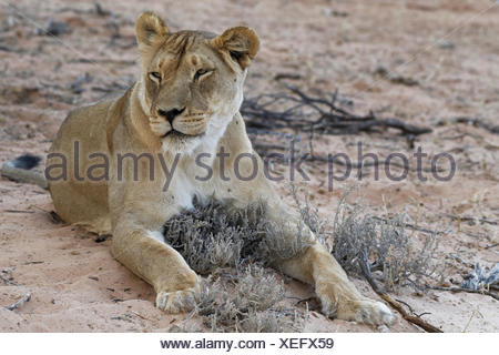African lion (Panthera leo), lioness lying on sand, Kgalagadi Transfrontier Park, Northern Cape, South Africa - Stock Photo