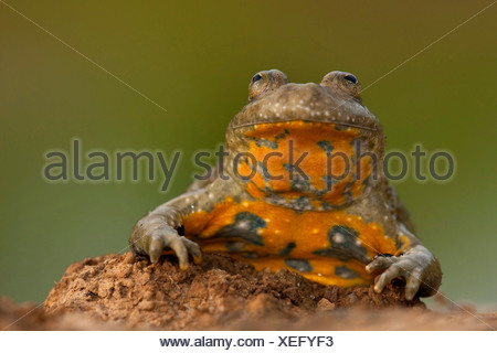 yellow-bellied toad, yellowbelly toad, variegated fire-toad (Bombina variegata), portrait, Germany, Rhineland-Palatinate - Stock Photo