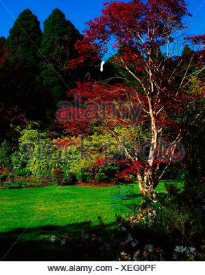 Creagh, Baltimore, Co Cork, Ireland; Maple Tree During The Spring - Stock Photo