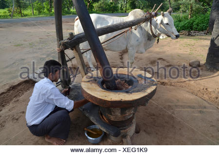 Burmese man in a Longyi or wrap-around skirt, and an ox which turns a simple stone mill for peanut oil production, Bagan, Pagan - Stock Photo