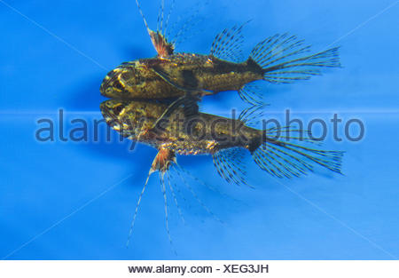 Pantodon buchholzi butterfly fish stock photo 25171849 for Freshwater butterfly fish