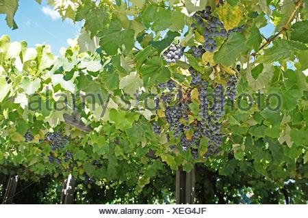Nahaufnahme, blaue Trauben, kleine und reife Beeren am Weinstock und ein Blick in den blauen Himmel Close-up, blue grapes, small and ripe berries on the vine and a view in the blue sky - Stock Photo
