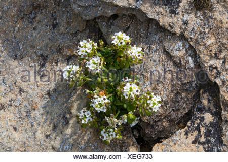 Alpine Chamois Cress (Pritzelago alpina), Gran Paradiso National Park, Valle d'Aosta, Italy, Europe - Stock Photo