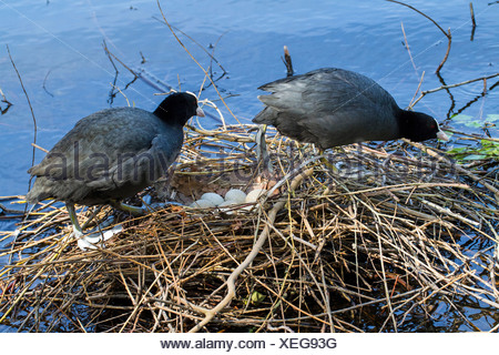 black coot (Fulica atra), breeding couple alternating with one another by the brood care, Germany - Stock Photo