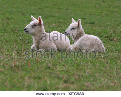 Two Lambs Sitting On Field - Stock Photo