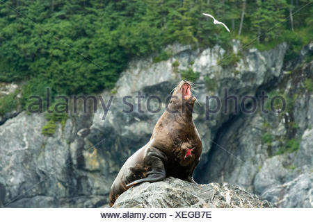 A wounded stellar sea lion (Eumetopias jubatus) barks from his perch on a rocky island. - Stock Photo