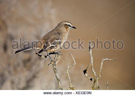 Chalk-browed Mockingbird (Mimus saturninus), peninsula Valdes, Patagonia, east coast, Atlantic Ozean, Argentina, South America - Stock Photo